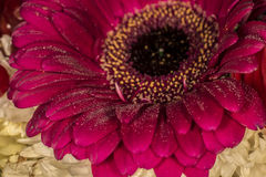Pink gerbera. On a dark background Royalty Free Stock Photos
