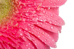 Pink gerbera with drops of water Royalty Free Stock Photography