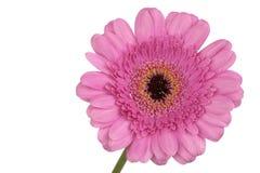 Pink Gerbera extreme close up Stock Photo