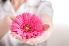 Pink gerbera in female hand, Gynecology concept royalty free stock photo