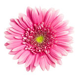 Pink gerbera flower royalty free stock photos