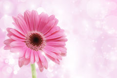 Pink Gerbera flower. On a starry background royalty free stock images