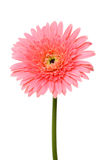 Pink gerbera flower. Royalty Free Stock Image