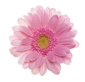 Pink gerbera flower. Royalty Free Stock Photography