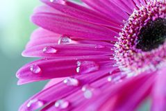 Pink Gerbera flower Stock Image