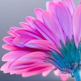 Pink Gerbera flower Stock Photos