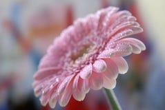 Pink Gerbera flower Royalty Free Stock Image