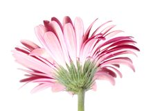 Pink Gerbera Flower from the Back Stock Photos