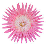 Pink gerbera flower. Beautiful pink gerbera flower isolated on white background Royalty Free Stock Photography