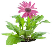 Pink Gerbera flower on a bed Stock Image