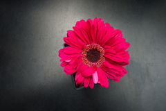 The pink gerbera flower Royalty Free Stock Photos