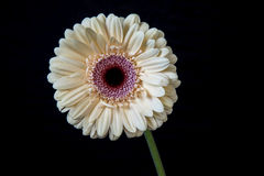 Pink gerbera flower on black background Stock Photography