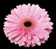Pink gerbera flower, black isolated background with clipping path. Closeup.. Royalty Free Stock Image