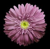 Pink gerbera flower on the black isolated background with clipping path. Closeup. no shadows. For design. royalty free stock images