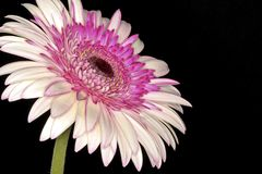 Pink gerbera flower close up Royalty Free Stock Image