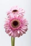 Pink gerbera flower Stock Photo