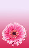 Pink gerbera flower, close up, colored degradee background. Daisy family Stock Image