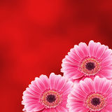 Pink gerbera flower, close up, colored degradee background. Daisy family Stock Photos