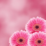 Pink gerbera flower, close up, colored degradee background. Daisy family Royalty Free Stock Images