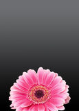 Pink gerbera flower, close up, colored degradee background. Daisy family Stock Photo