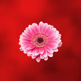Pink gerbera flower, close up, red degradee background. Daisy family Royalty Free Stock Image