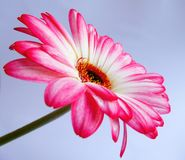 A pink gerbera flower Royalty Free Stock Image