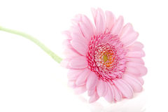 Pink Gerbera flower in closeup Royalty Free Stock Photos