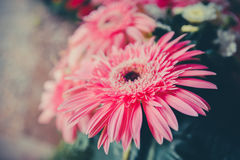 Pink Gerbera Flower Stock Photo