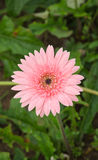 Pink gerbera. Flower in garden at the King Royal Flora Ratchapruek Chiangmai,Thailand Stock Photo