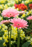 Pink Gerbera Flower in the garden Stock Images