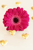 Pink gerbera flower and golden hearts Stock Image