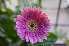 Pink Gerbera Flower Stock Photos