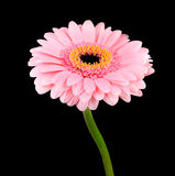 Pink Gerbera Flower with Green Stem Isolated Stock Images