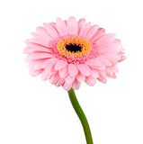Pink Gerbera Flower with Green Stem Isolated Stock Photography