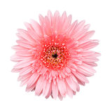 Pink Gerbera flower isolated Royalty Free Stock Photography