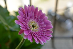 Pink Gerbera Flower. Isolated with green background Stock Photo