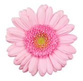 Pink gerbera flower isolated royalty free stock photos