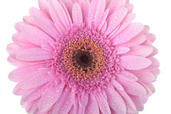 Pink Gerbera flower isolated on white Royalty Free Stock Photo