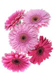 Pink Gerbera flower isolated on white Stock Images