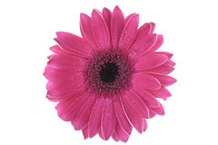 Pink Gerbera flower isolated on white Stock Image