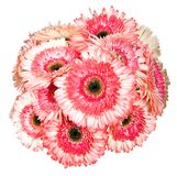 Pink Gerbera flower isolated on white Royalty Free Stock Images