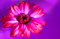 Pink gerbera flower isolated on white background Stock Photos