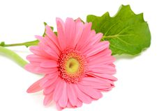 Pink gerbera flower Royalty Free Stock Photography