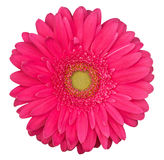Pink gerbera flower isolated on the white background Royalty Free Stock Photos