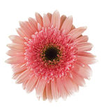Pink gerbera flower isolated Stock Photo