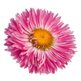 Pink gerbera flower isolated on white background Stock Image