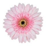 Pink gerbera flower isolated on white Stock Photo