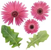 Pink Gerbera flower and leaves set. Isolated springs Pink Gerbera flower and leaves macro set stock photos