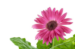 Pink Gerbera flower macro Royalty Free Stock Images