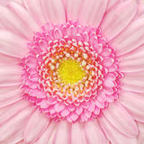 Pink Gerbera Flower Macro Stock Photography